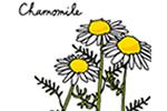 カモミール
